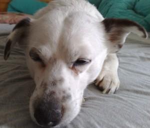 Jack Russel, Lucky, müder Hund